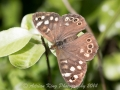 20140928_(Speckled Wood)_7261.jpg