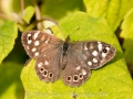 20140928_(Speckled Wood)_7269.jpg