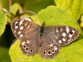 20140928_(Speckled Wood)_7274.jpg