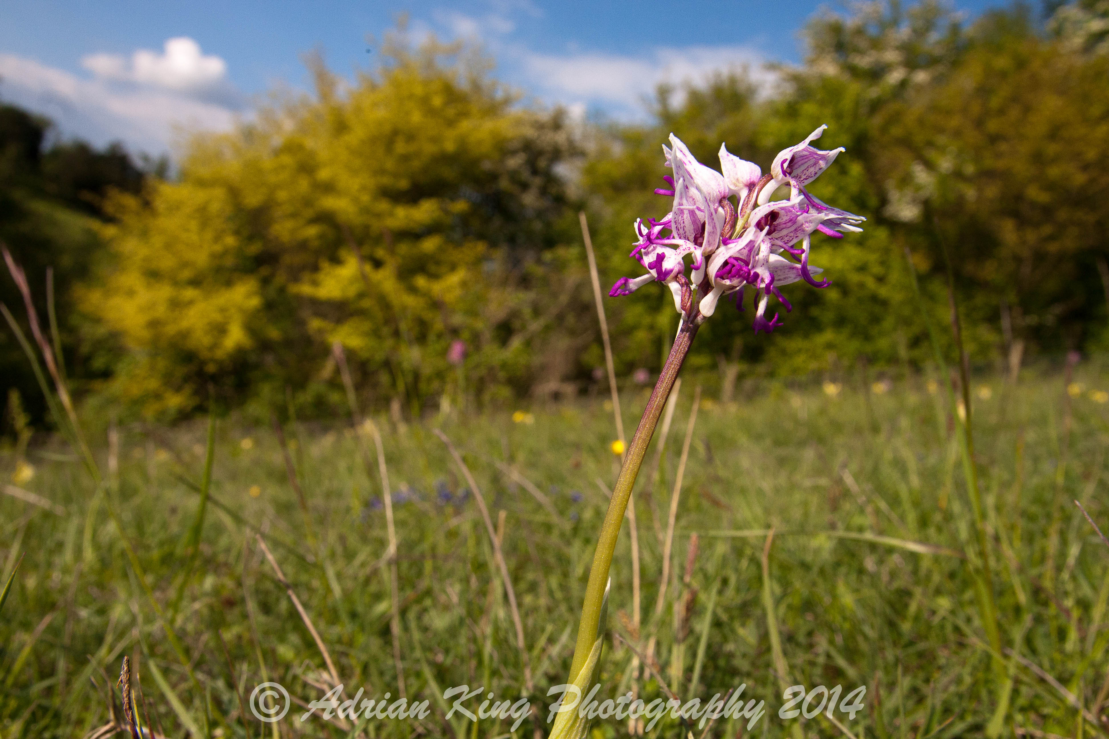 2014-05-15 - Monkey Orchid (Orchis simia)