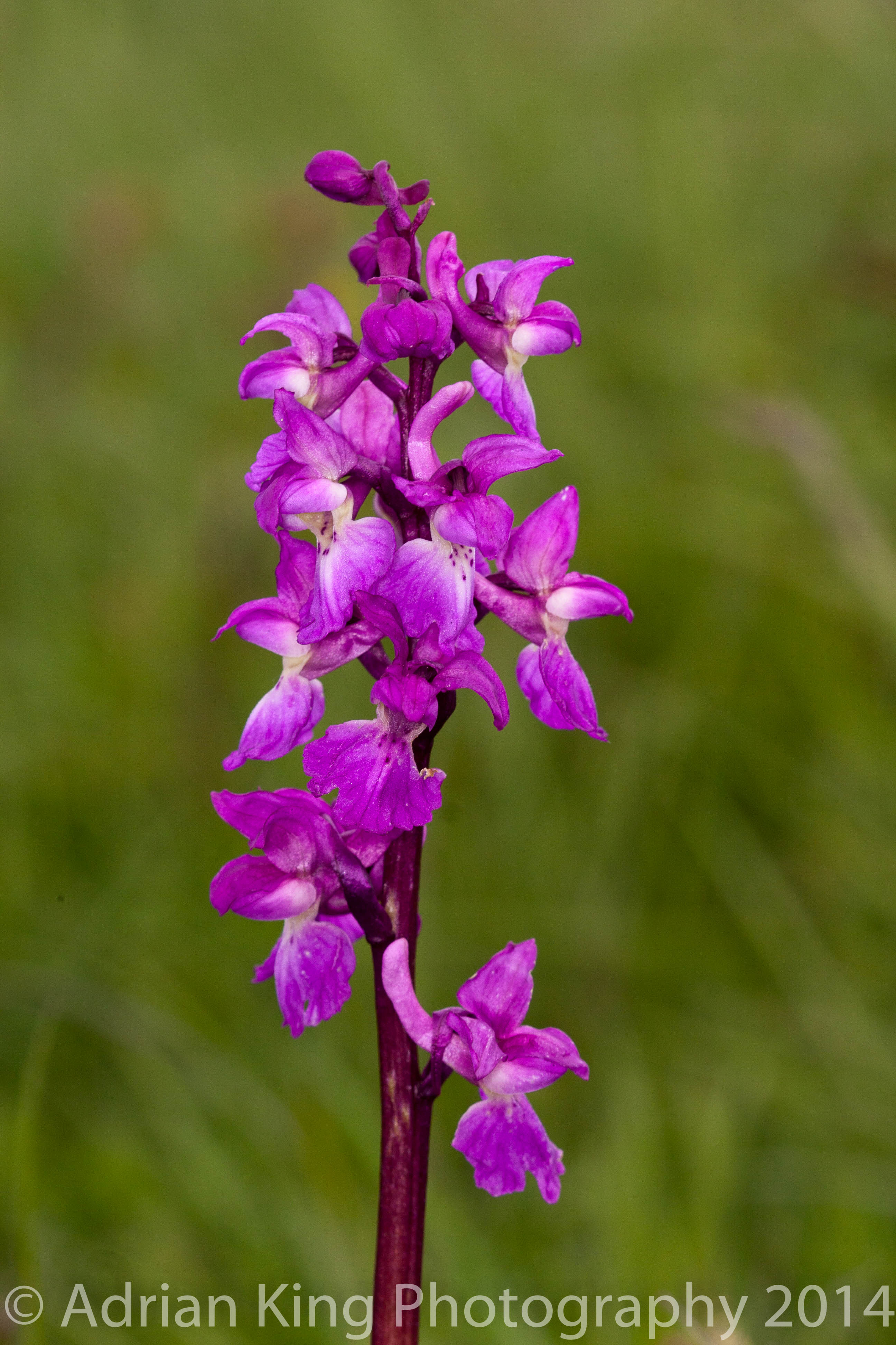 2014-05-10 - Early Purple Orchid (Orchis morio) at Badbury Rings