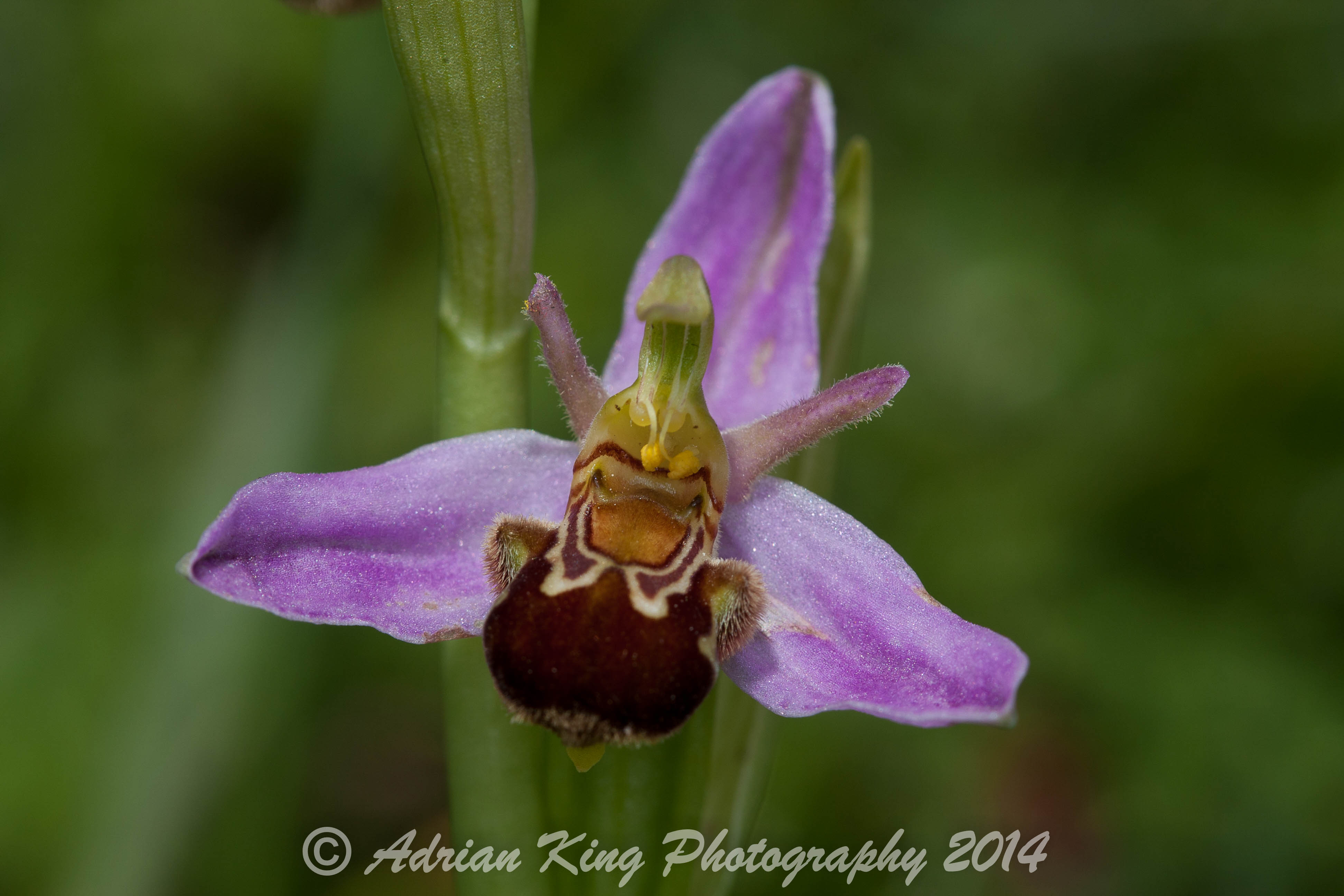 20140607_(Badbury Rings Orchids)_1783