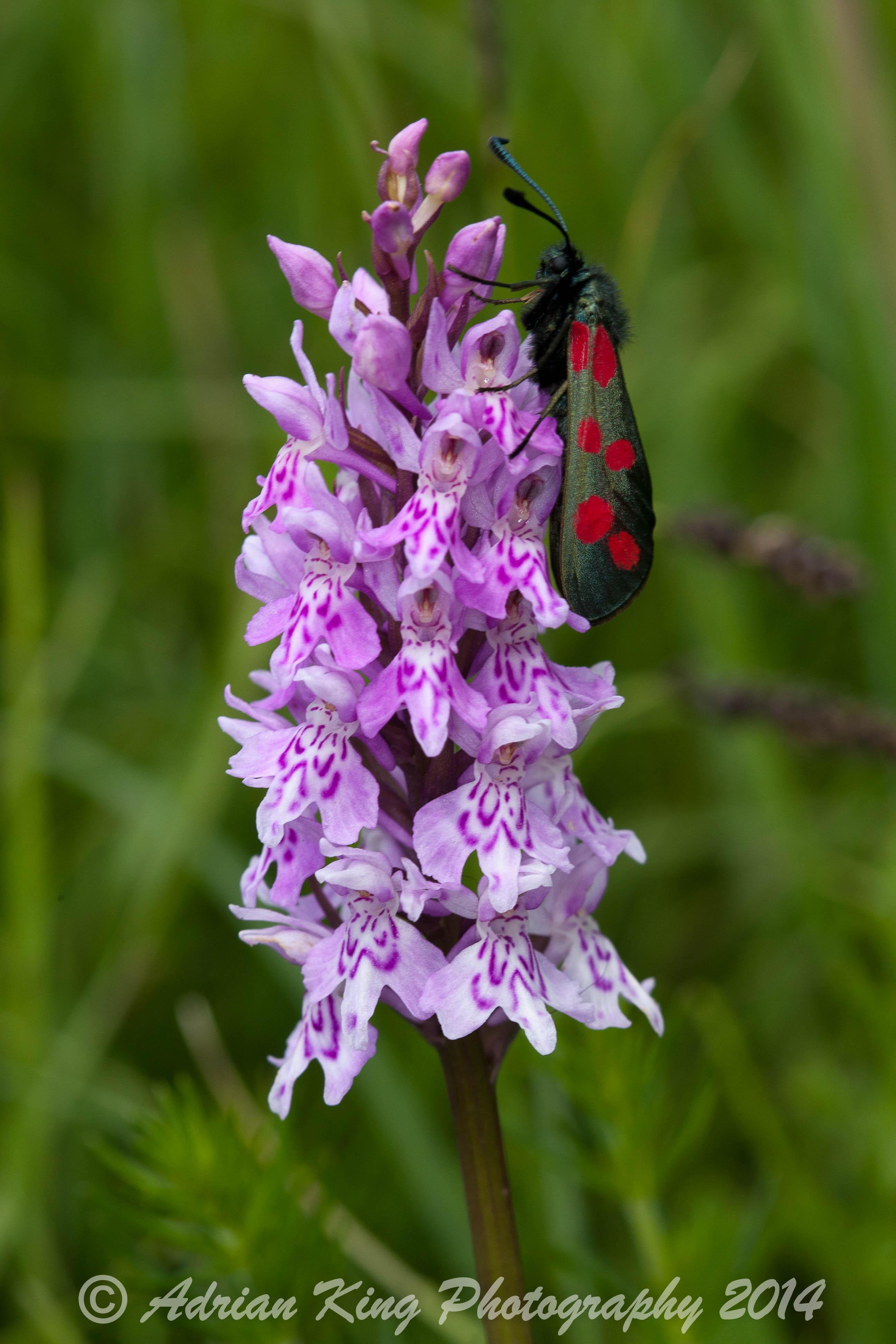 20140607_(Badbury Rings Orchids)_1807