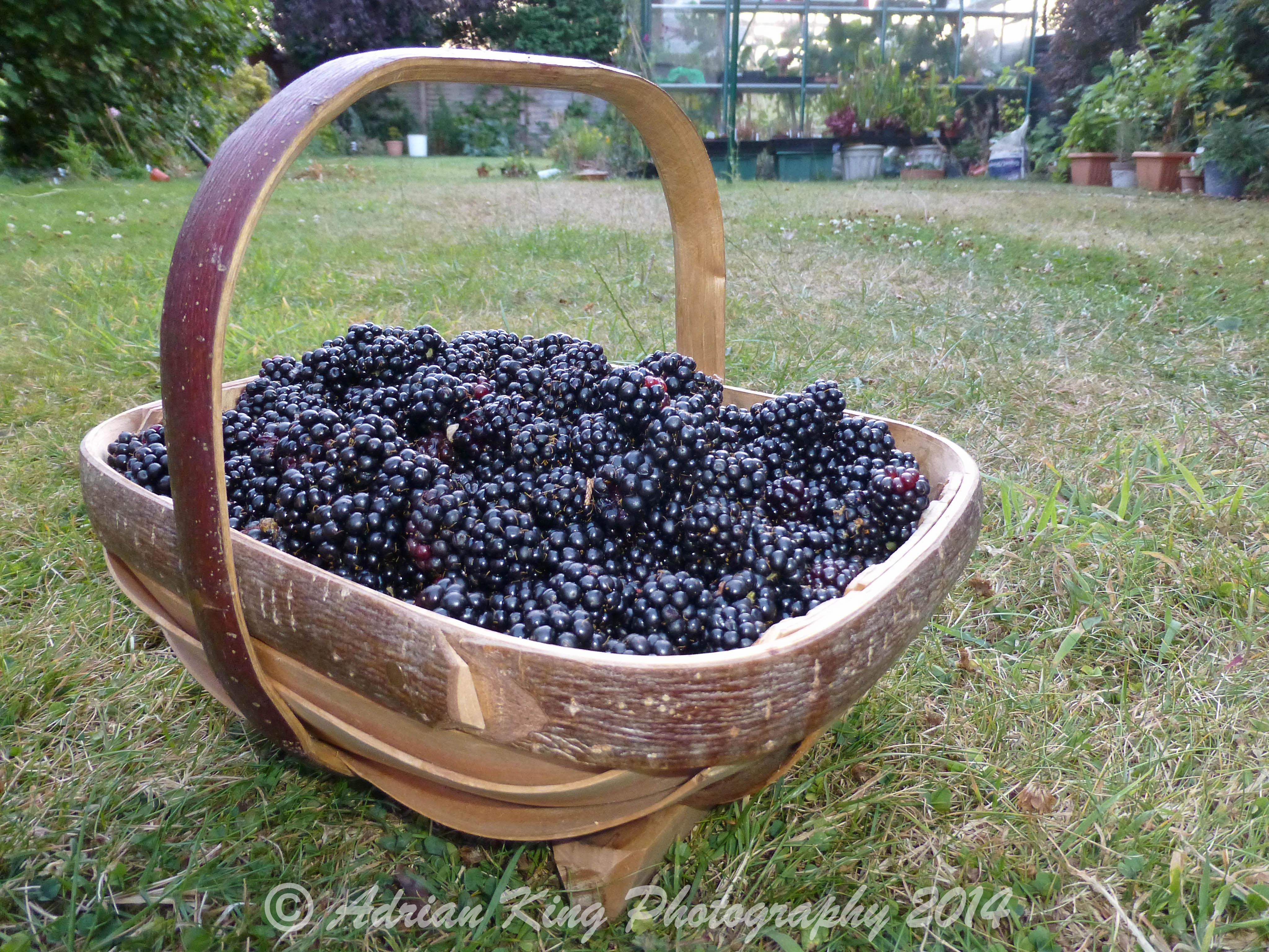 Blackberry Harvest  (04/08/2014)